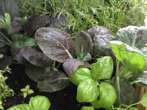 Basil, Mustard, Red Leaf Miizuna